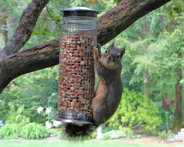 Our squirrel on his peanut feeder