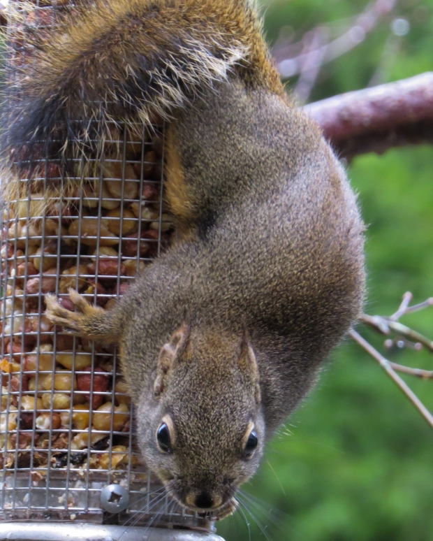 squirrel_on_feeder