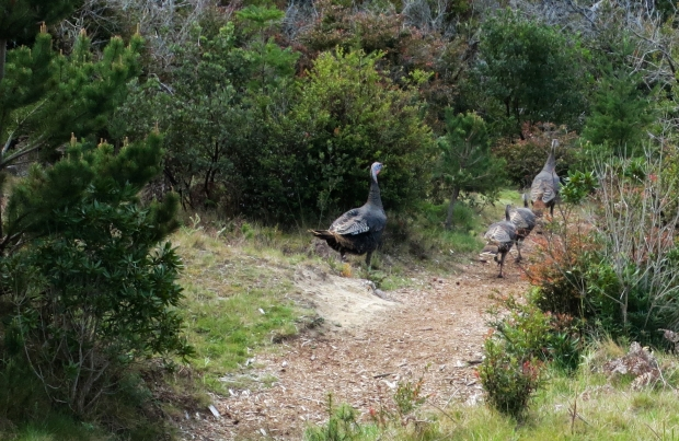 turkeys_at_Bandon_Dunes