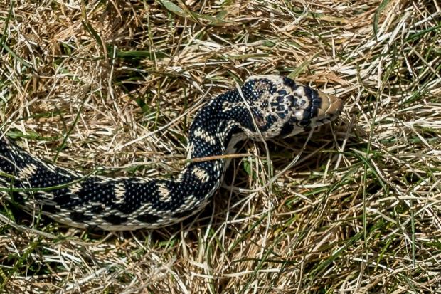 snake_0897b