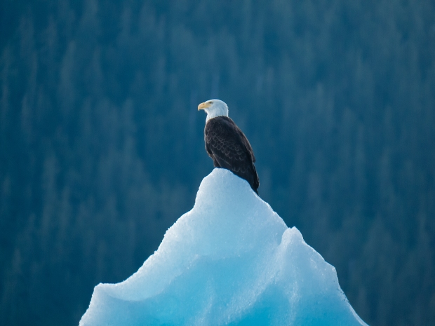 Eagle_on_iceberg_0844