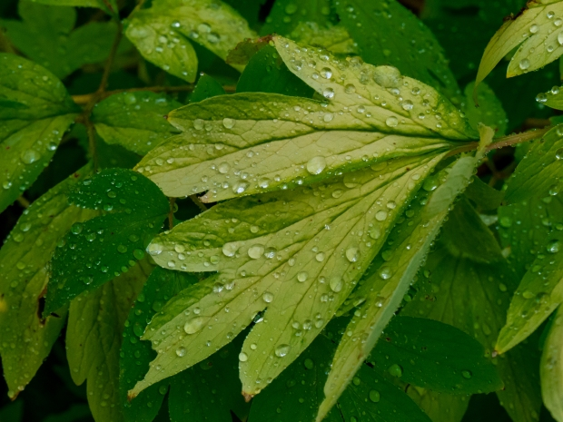 Rain drops on bleeding heart leaves