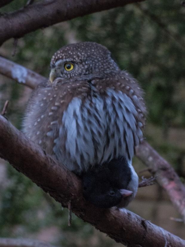 killer_owl_10113