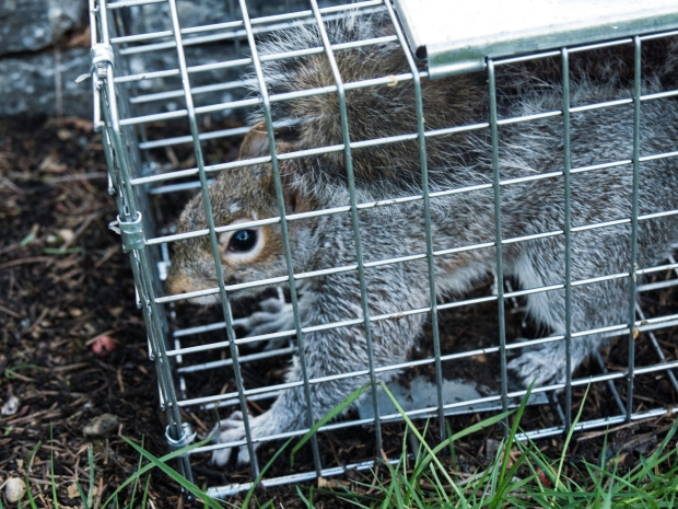 squirrel_in_trap_10740