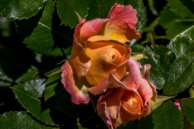peach_rosebud_1356
