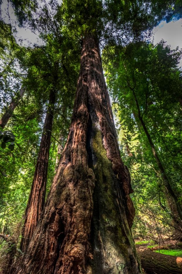 cowell_redwoods_1020057
