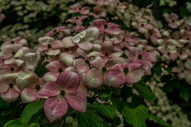 dogwood_blossoms_1020571