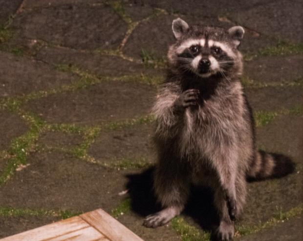 raccoon_1030069