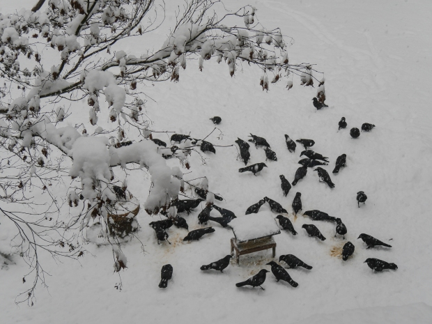 crows_in_snow_1060130