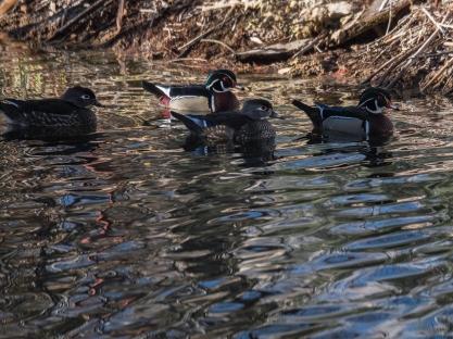 wood_ducks_1000036