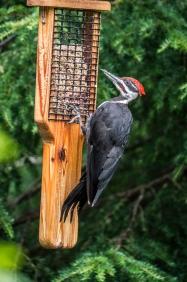 woodpecker_1040218