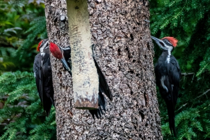 woodpeckers_1040169