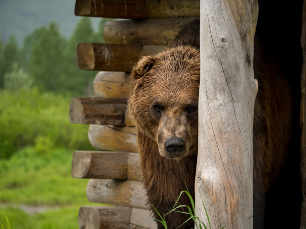 grizzly_0986_b