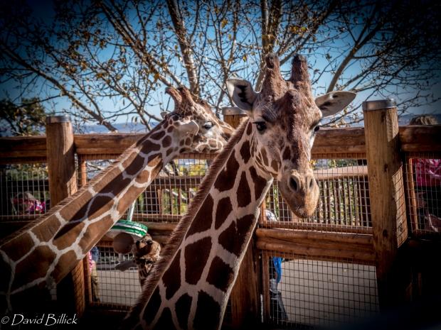 giraffe_1020215