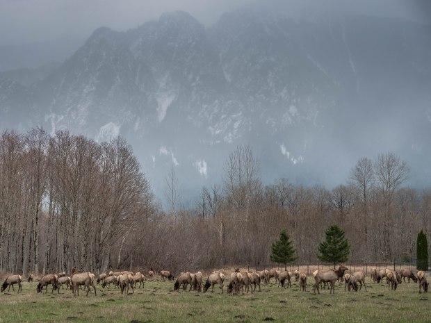 elk_herd_1000305